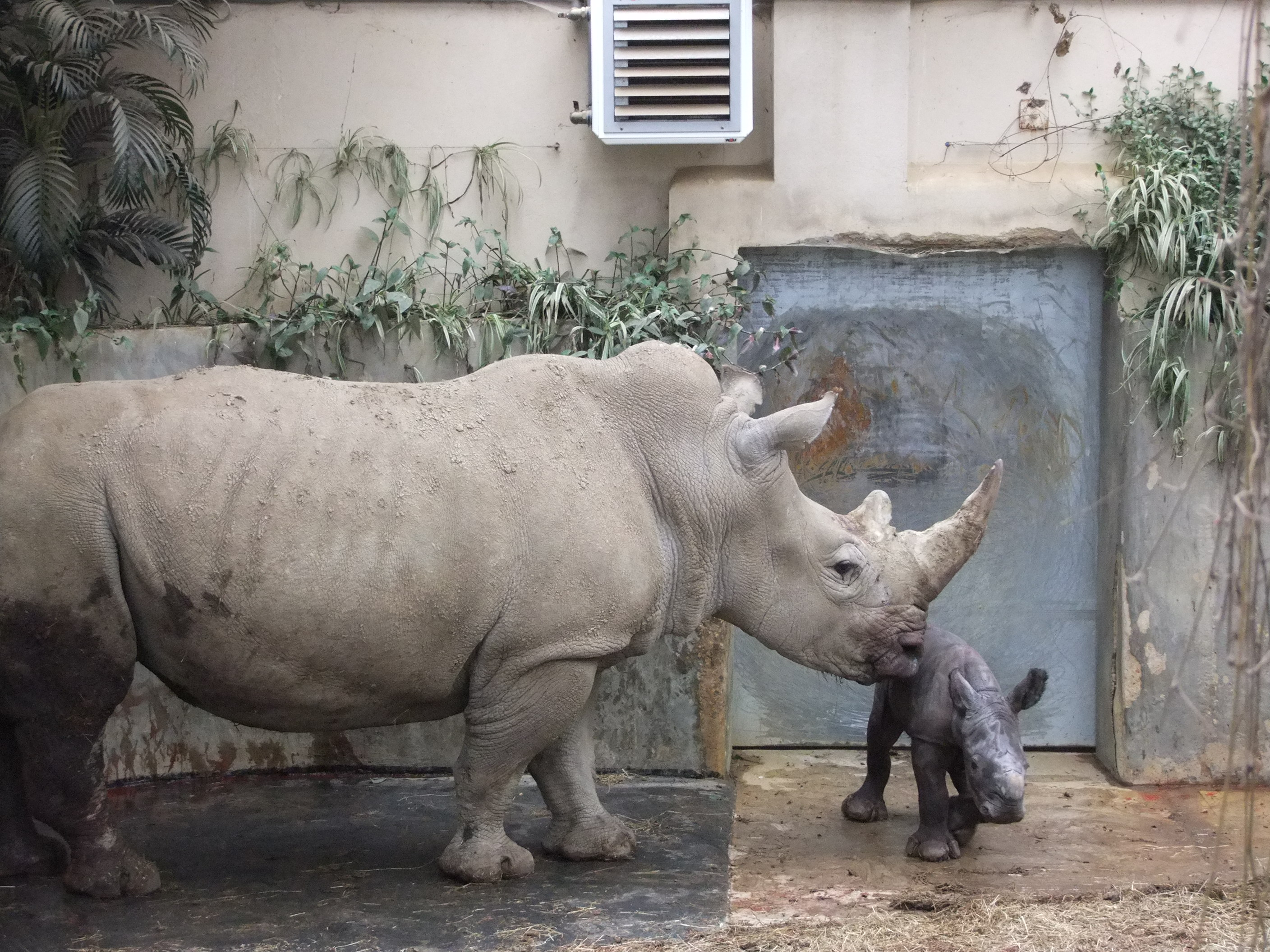Ruby the rhino with baby Ian. Picture: Cotswold Wildlife Park