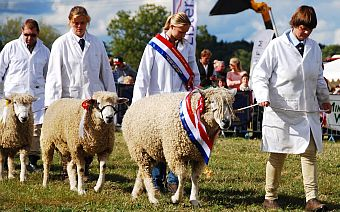 Sheep being paraded at the Moreton-in-Marsh Show.