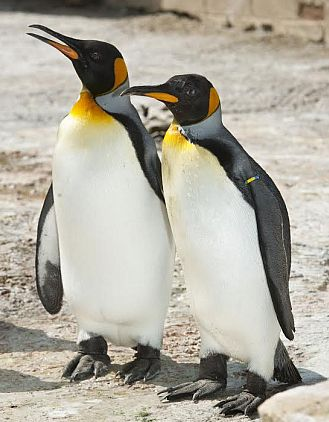 Cotswold Birdland is home to England's only group of king penguins.