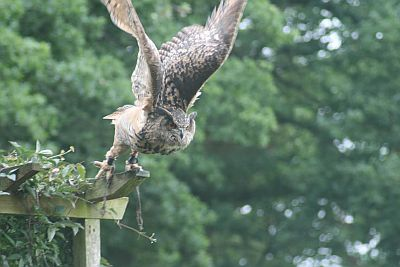 An owl about to take flight at the Cotswold Falconry Centre.