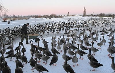 Hundreds of geese waiting to be fed on an icy day at Slimbridge.