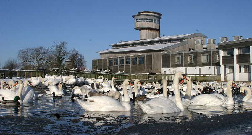 Swans in front of the observation tower at Slimbridge.