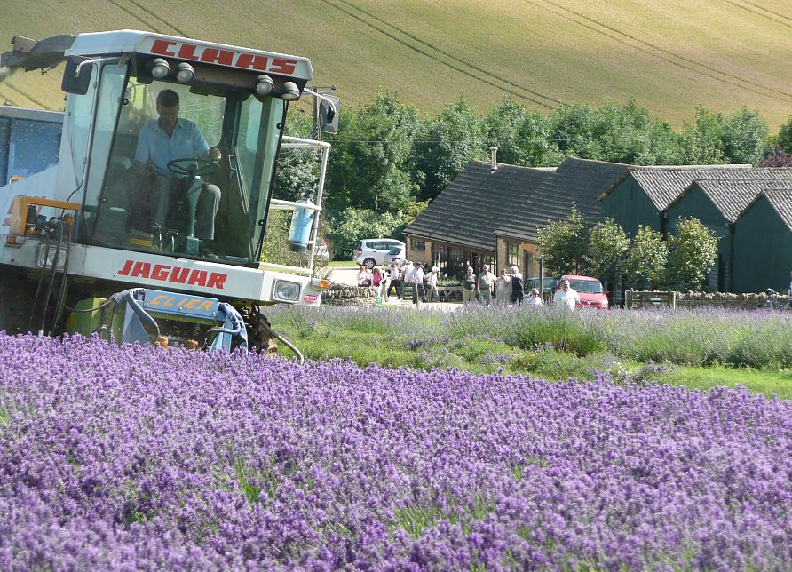 Harvest time at Cotswold Lavender. Picture courtesy Cotswolds Conservation Board.
