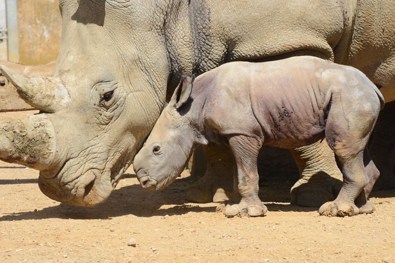 D'ora the baby White Rhino, the latest addition at the Cotswold Wildlife Park. Picture by Rory Carnegie.