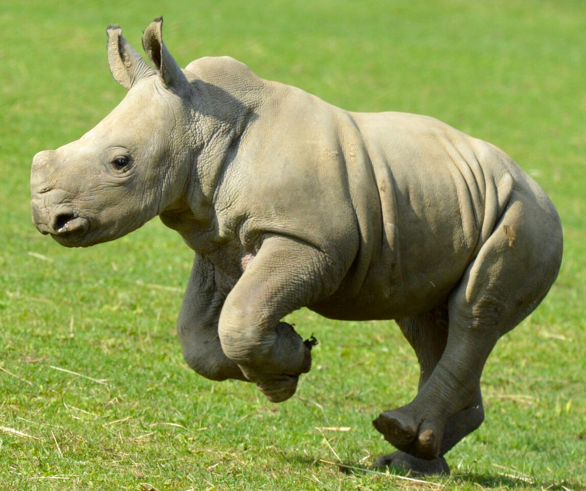 Rhino Baby John running for the animal count at the Cotswold Wildlife Park. Pictures courtesy Cotswold Wildlife Park.