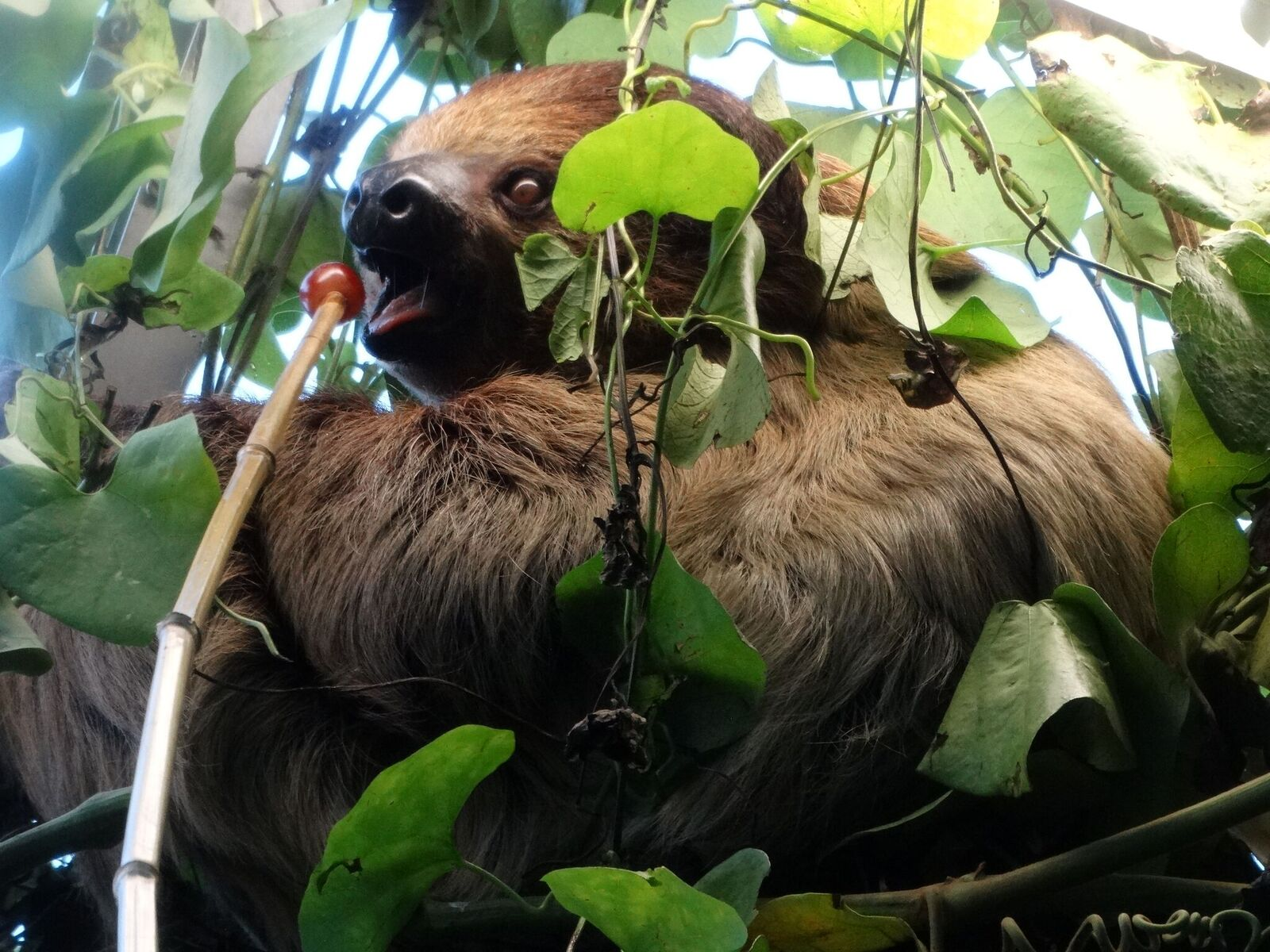 A sloth comes out of hiding to eat a grape attached to a bamboo stick.