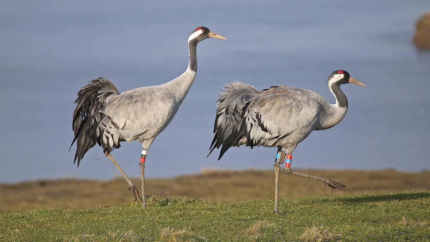 Cranes Ruby and Bart at Slimbridge. Picture © Roy Shilham / WWT