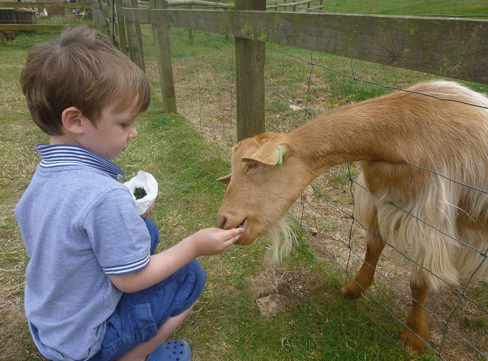 ...and feeding a rare breed goat.