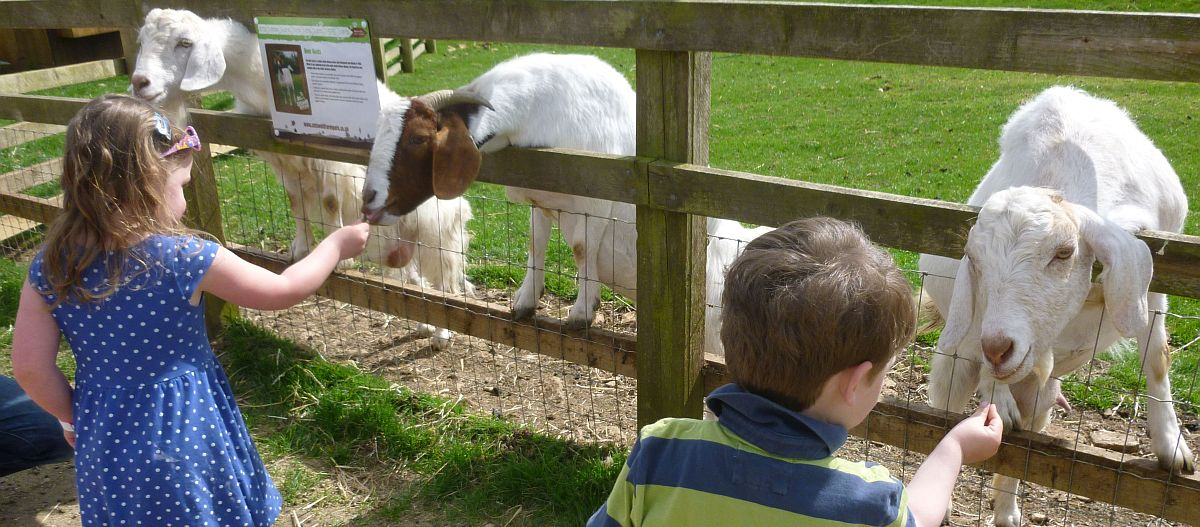 Noah and Eliza handing out the rations to the goats at the Cotswold Farm Park.
