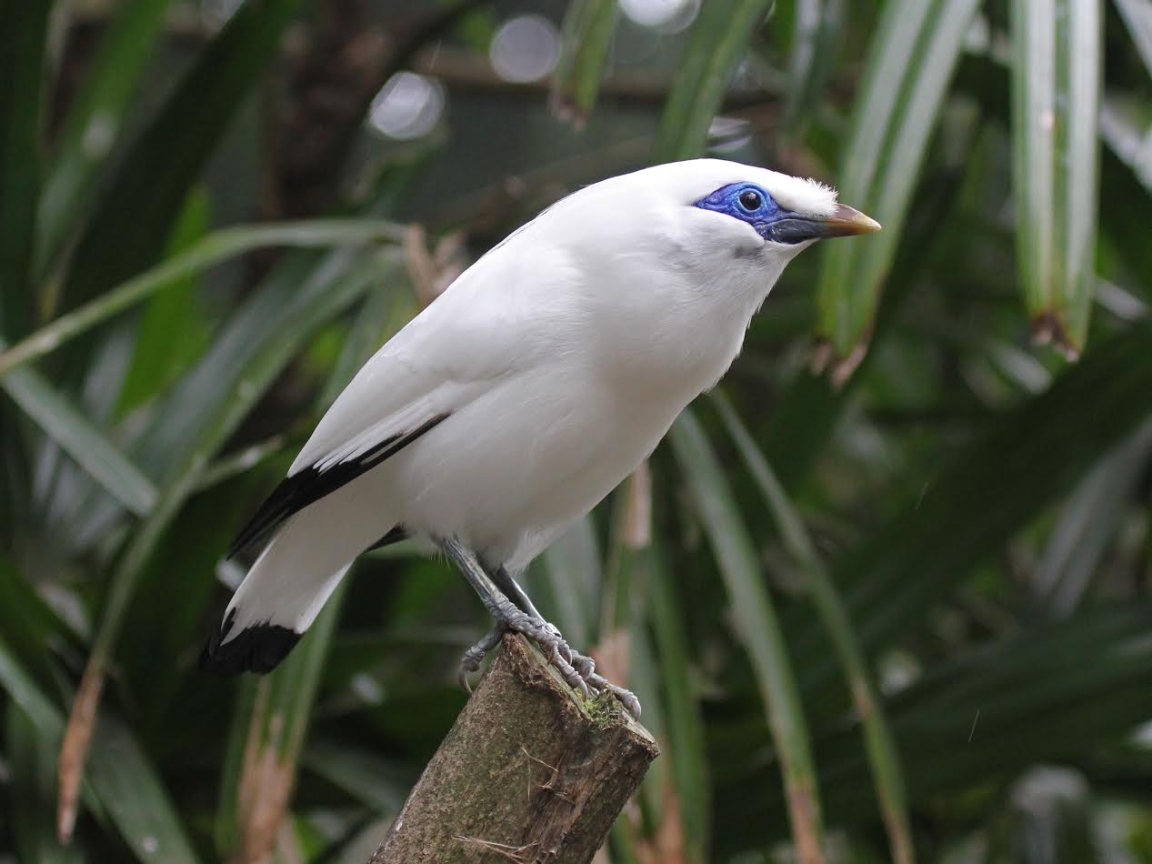The Bali mynah bird.