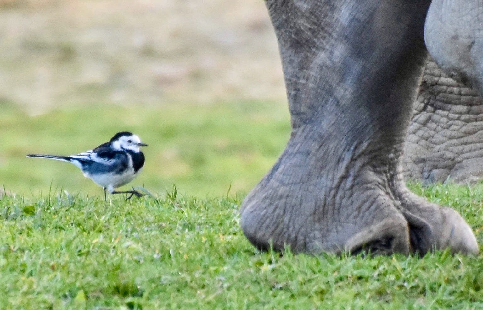 Julie Dickson gained 2nd place with her photo 'Little Foot Big Foot' (courtesy Cotswold Wildlife Park).