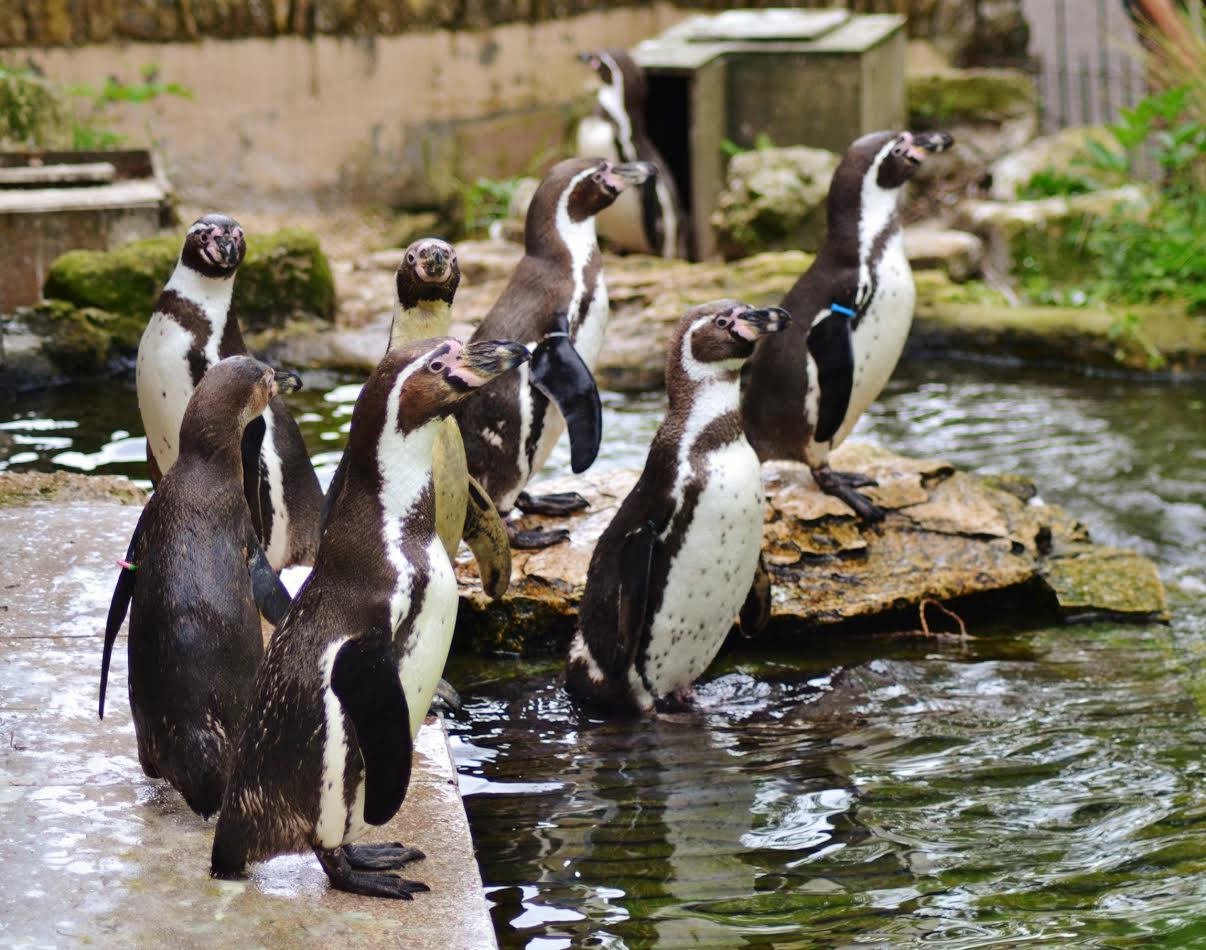 Humboldt penguins at Birdland.