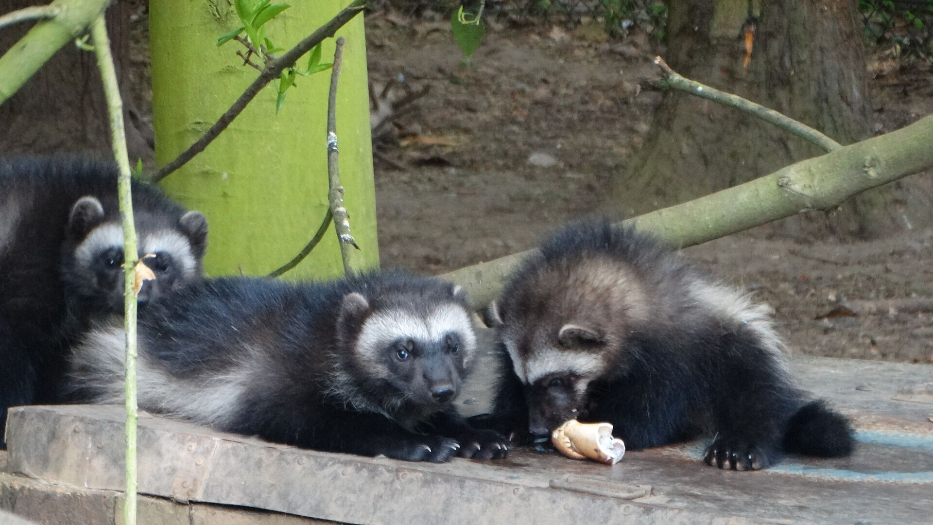The Wolverine triplets feeding. Picture courtesy of Cotswold Wildlife Park.
